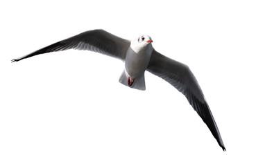 Fliegende Möwe freigestellt