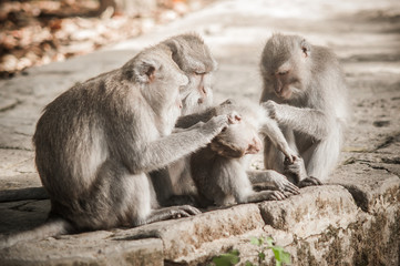 Macaque monkey family grooming and relaxing in secret monkey forest