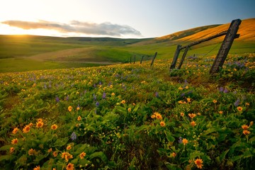 Fields of widlflowers along a fence line in the Pacific Northwest
