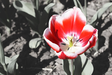 red tulip on black and white photo