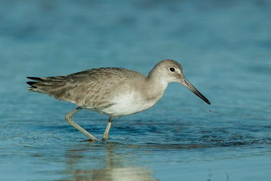 Willet winter plumage taken in SW Florida