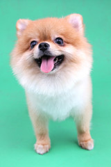 Pomeranian dog smiling with green backdrop.