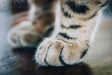 Close up of the paw of fluffy striped cat
