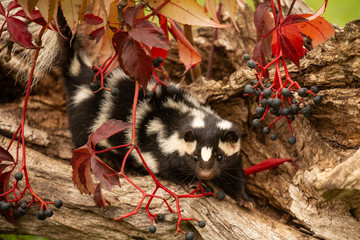 Eastern Spotted Skunk taken in central MN under controlled conditions captive Wall mural
