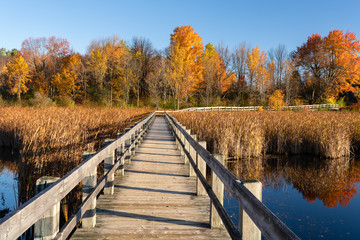 Boardwalk on Mer Bleue bog trail in autumn with trees in vibrant red and golden colors, Ottawa, Canada