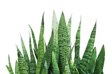 Green Leaves of Sansevieria trifasciata, Snake Plant Isolated on White Background