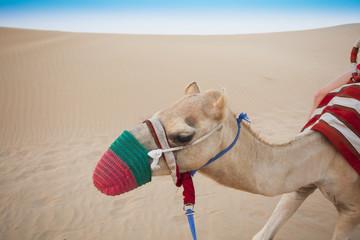 camel head in the desert safari