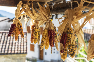 Rare varieties of corn cob. Rainbow of colors. Carnia to love.
