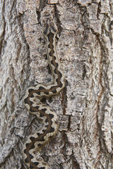 Snake camouflage. Vipera aspis detail on a trunk surface