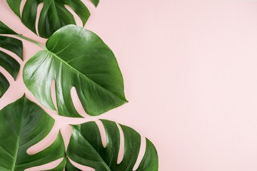 Tropical leaves Monstera on pastel pink background. Flat lay, top view, copy space