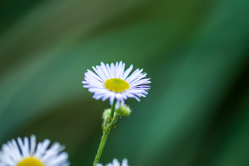 White flowers on a green background. Daisies close up.