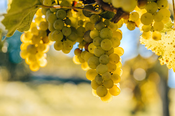 Grapes and vines of white wine in the sun, Autumn warm colors, harvest of vines. White ripe grape clusters in the summer or autumn. Vineyard on the sun, close up detail shot of ripe grapes.