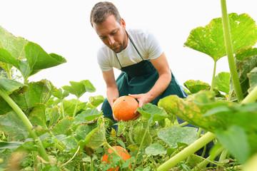 Bauer bei der Ernte von Kürbissen in der Landwirtschaft // Farmer harvesting pumpkins in agriculture Fotoväggar