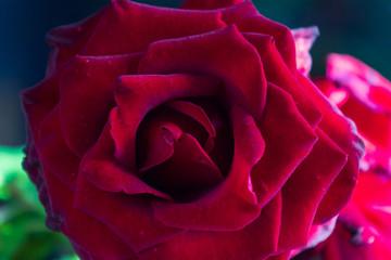 Red rose flower flowering on background red roses flowers.
