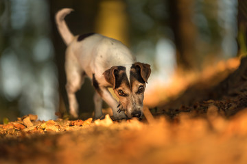 Purebred Jack Russell Terrier Hound.  Small cute dog is fallowing a track in autumn