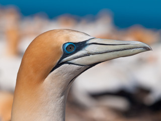 Head of gannet in colony new zealand