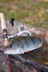 Trophy fishing. Big freshwater perch and fishing equipment on wooden background..