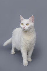 cute White cat on gray background