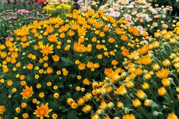 Beautiful chrysanthemums