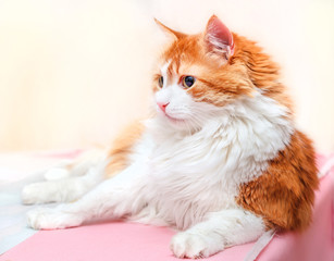 Concentrated red cat