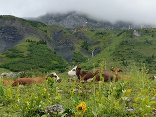 vaches abondances en alpage