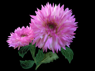 two pink dahlia blooms on black