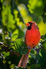 Cardinal in nature