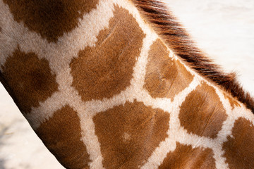 neck of a giraffe
