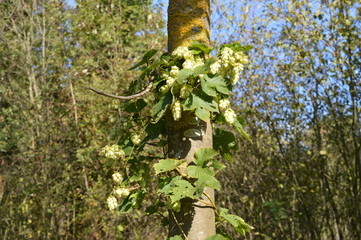 Wilder Hopfen (Humulus lupulus)  im Herbst am Niederrhein bei Korschenbroich