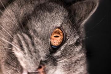 gray british cat, a cat in a basket