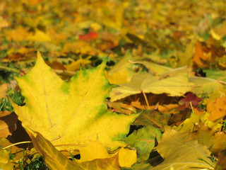 Yellow maple leaves on the ground, selective focus. Autumn weather background