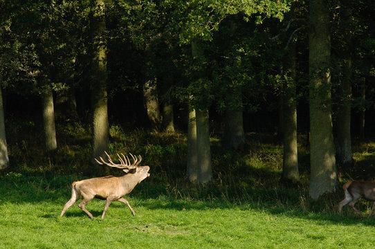 Belgique Wallonie Han sur Lesse reserve animaux cerf
