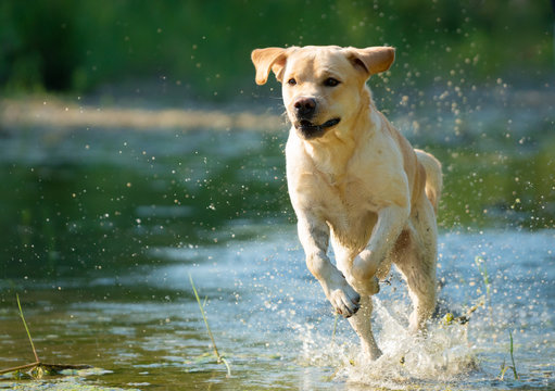 Running Labrador Retriever on river