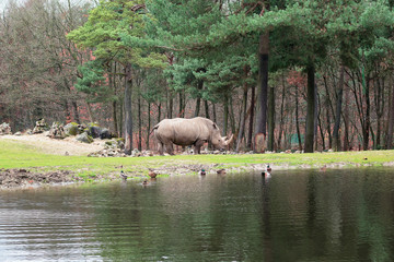 Rhinoceros on the edge of  a puddle in the Zoo