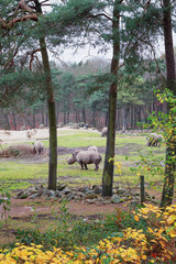 Group of rhinos grazing on the meadow in the zoo