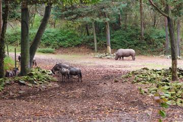 Rhinoceros looking for food between a group of wildebeest in the zoo