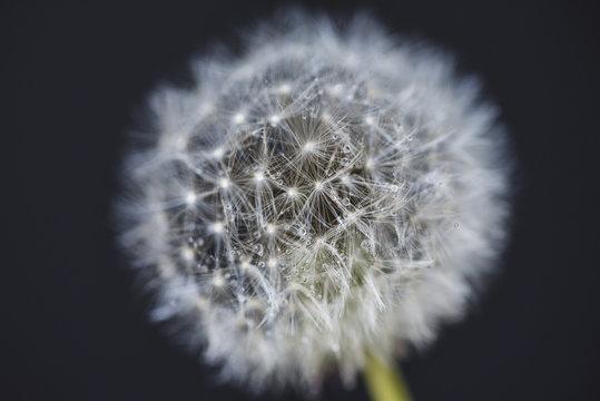 Close-up of wet dandelion seed over black background