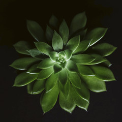 Overhead view of succulent plant over black background