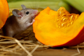 Close-up gray mouse nibbles slice of orange pumpkin in the warehouse.Small DoF focus put only to mouse head.