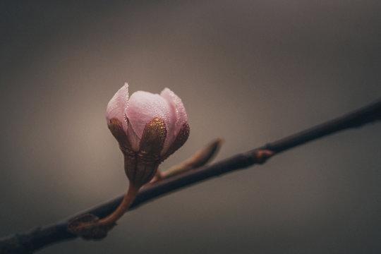 Blooming bud on twig