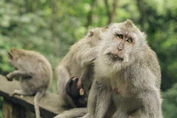 Macaques in forest, Bali, Indonesia