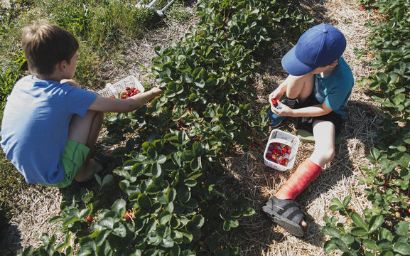 High angle view of brothers picking strawberries at farm