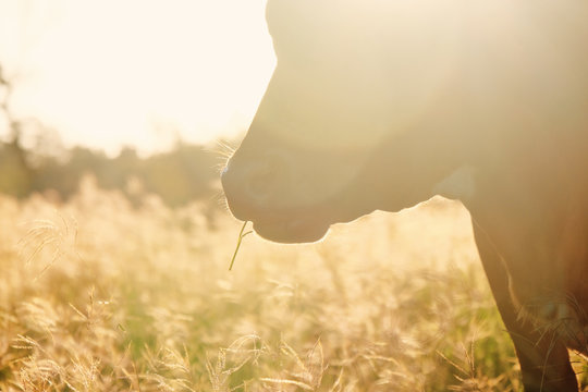 Cow eating grass in fall landscape, shows sun falling on the golden pasture.