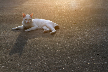 The stray big cat with white fur and yellow eyed lying on cement floor was suspect and staring at the photographer after listening shutter sound. Selective focus and copy space
