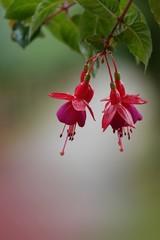 Fuchsienblüten rot
