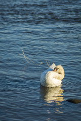 A swan preening its feathers in the river
