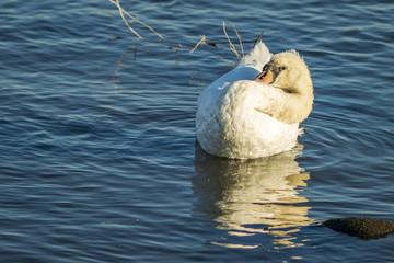 A preening swan