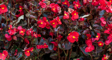 closeup of red Wax begonia Semperflorens