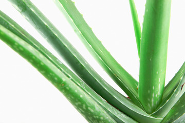 Close-Up Of Aloe Vera On White Background.