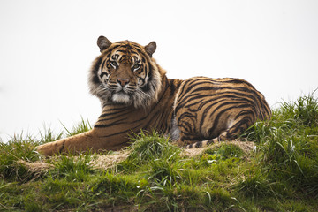 Tiger laying down resting and staring looking straight ahead